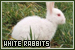 Rabbits: White