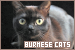 Cats: Burmese